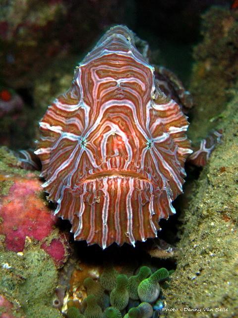 Ambon-frogfish